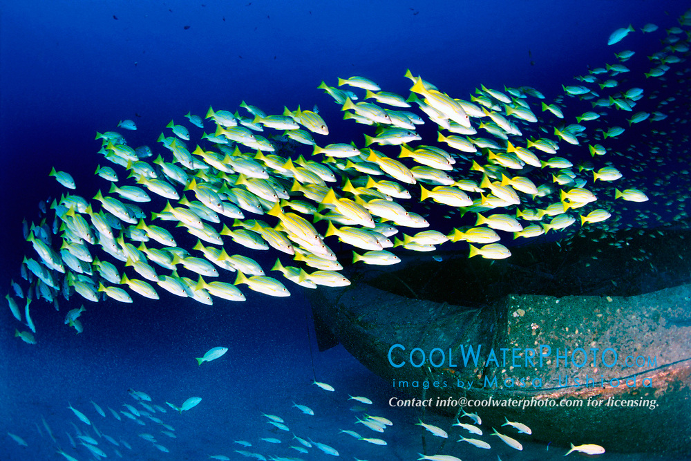 school of bluestripe snappers, Lutjanus kasmira, at Sailboat wreck, Kona, Big Island, Hawaii, Pacific Ocean