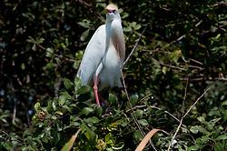 Cattle Egret (Bubulcus ibis), Blue Cypress Lake, Vero Beach, Florida, US