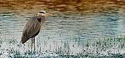A great blue heron (Ardea herodias) near shore. Ridgefield National Wildlife Refuge, Washington.