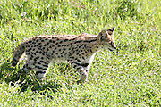 Africa, Tanzania, Ngorongoro Ngorongoro Conservation Area (NCA) Serval (Leptailurus serval), is a medium-sized African wild cat