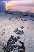 loggerhead sea turtle hatchlings, Caretta caretta, <br /> emerge from sand at nesting beach and crawl towards ocean, Juno Beach, Florida ( Western Atlantic Ocean )