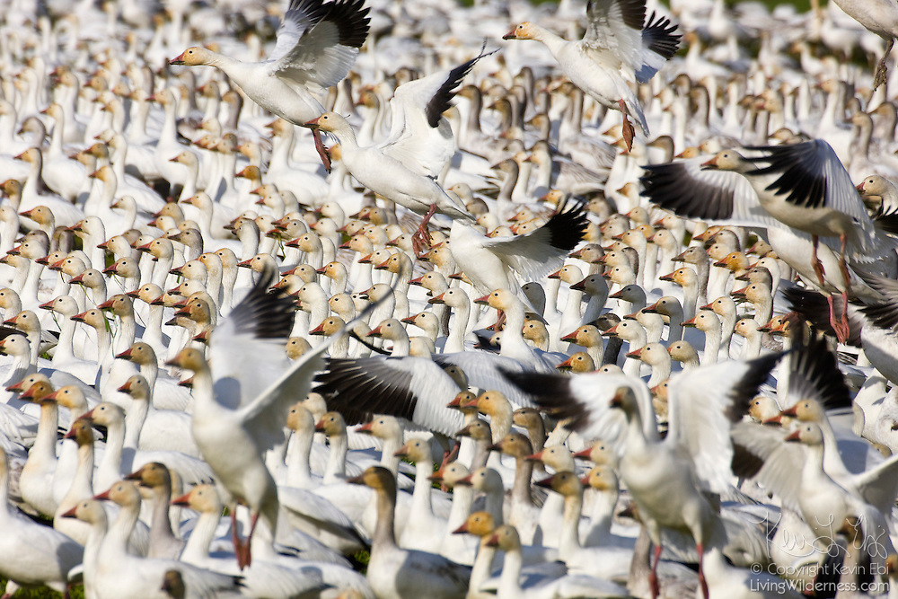 Thousands of snow geese walk and fly in formation over a farmer's field near Mount Vernon, Washington. More than 30,000 snow geese winter in the area, feeding on grass and other plants before flying north for the summer.