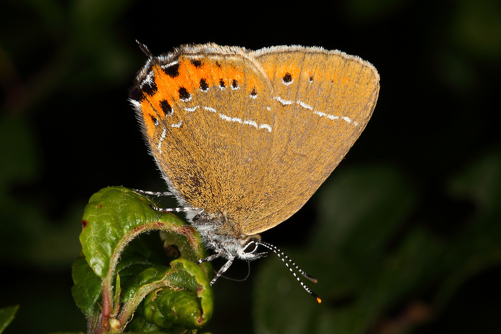 The Black Hairstreak is rare in the UK, being found only in certain woods between Oxford and Peterborough. This one was photographed at Glapthorn Cow Pasture in the summer of 2018.