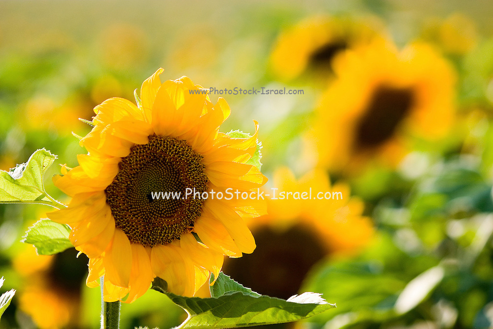 Large sunflower in a field of sunflowers
