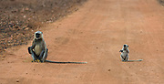 Mother and baby gray langur, Semnopithecus dussumieri, from Tadoba NP, India.