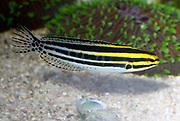 Striped Fang Blenny, Meiacanthus grammistes.
