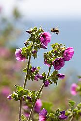 Bee on Tree Mallow near the coast at Kynance Cove, Cornwall. Lavatera arborea