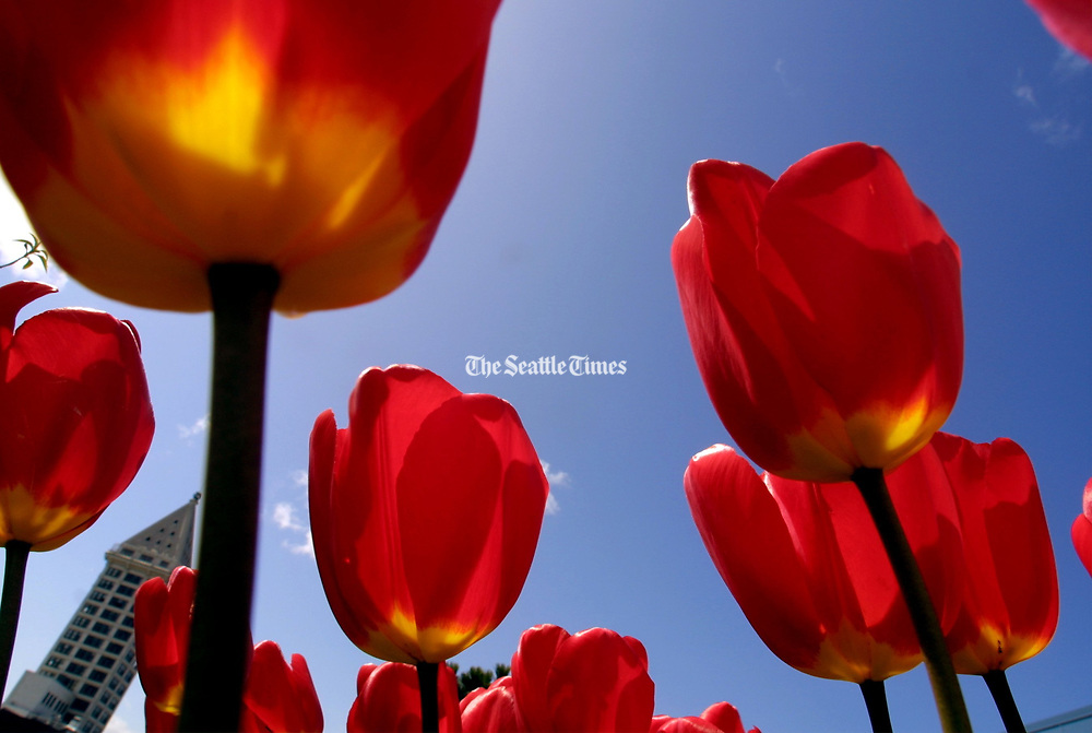 Tulips give a nod to the sun (the Smith Tower is in the distance).  (Betty Udesen / The Seattle Times)