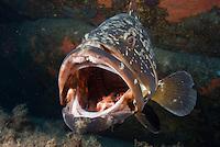 Dusky Grouper (Epinephelus marginatus) - 'endangered' in IUCN Red List<br /> France: Corsica, Lavezzi Islands, 'Merouville' ('Grouper City')