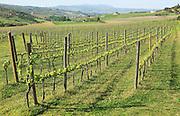 Farming landscape of grapevines growing on trellis, Rio Setenil valley, Serrania de Ronda, Spain