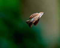 Chipping Sparrow. Image taken with a Nikon D810a camera and 600 mm f/4 VR lens.