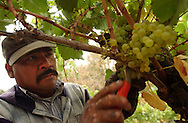 Antonio Rodriguez, a grape picker, cuts down clumps of chardonnay grapes at the Iron Horse Vineyards in Sebastopol, Calif. on Saturday Sept. 27, 2003. (Photo by Jakub Mosur)