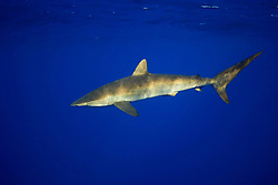 Silky Shark, Carcharhinus falciformis, off Kohala Coast, Big Island, Hawaii, Pacific Ocean