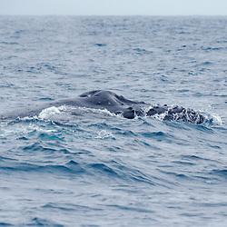 Baleia-jubarte (Megaptera novaeangliae) fotografado em Vitória, capital do Espírito Santo, Sudeste do Brasil. Oceano Atlântico. Registro feito em 2018.<br /> ⠀<br /> ⠀<br /> <br /> <br /> <br /> <br /> <br /> ENGLISH: Humpback Whale photographed in Vitória, Capital of Espírito Santo - Southeast of Brazil. Atlantic Ocean. Picture made in 2018.