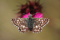 Grizzled Skipper butterfly, Pyrgus malvae, feeding on Pink, Dianthus sp.. Mountain pasture, Mount Baba (1635 m) in Galicica National Park.<br /> Stenje region, Lake Macro Prespa (850m) <br /> Galicica National Park, Macedonia, June 2009<br /> Mission: Macedonia, Lake Macro Prespa /  Lake Ohrid, Transnational Park<br /> David Maitland / Wild Wonders of Europe