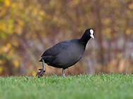 Common Coot - Fulica atra