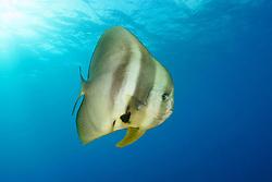 Platax teira, Langflossen Fledermausfisch, Longfin Batfish, Malediven, Indischer Ozean, Maldives, Indian Ocean
