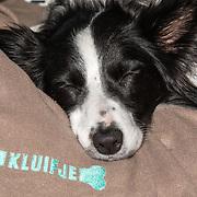 NLD/Blaricum/20191004 - Lancering hondenmerk Kluif van Rosanna Kluivert, bordercollie op de deken van Kluifje het merk van Rosanne Kluivert en Kruitvat