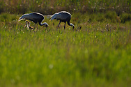 Two White-naped Crane, Grus vipio, with two chicks walking on grass besides water in Inner Mongolia, China