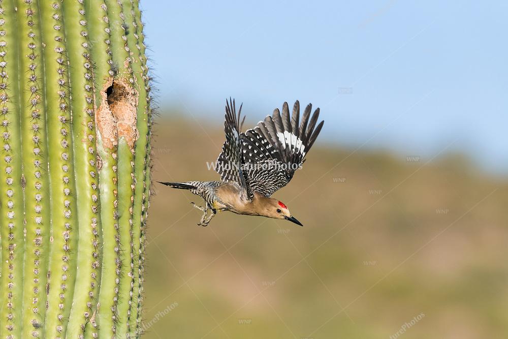 A male Gila Woodpecker (Melanerpes uropygialis) flies out of a nest in a Saguaro (Carnegiea gigantea). Arizona