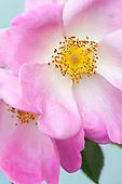 Rosa :: Gallery