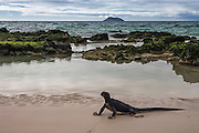 Marine Iguana (Amblyrhynchus cristatus)<br /> Bachas Beach. North Santa Cruz Island, Galapagos Islands<br /> ECUADOR.  South America<br /> ENDEMIC TO THE ISLANDS<br /> The iguana was crossing the beach between the ocean and the lagoon<br /> These are the only true marine lizard in the world. Although not truely social they are highly gregarious, often spending cool nights in tight clusters. As the sun rizes they can be seen sunning themselves on the rocks to heat up before going into the sea to feed. Their black coloration helps them to absorb the sun's energy and to camourflage on the lava rocks.