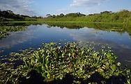 Pantanal wetland, Pantanal Brazil.