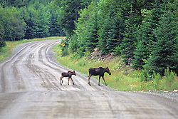 Female Moose & Calve Crossing Road