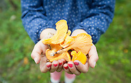 Collecting wild chanterelle mushrooms (Cantharellus cibarius) in the forest near Boat of Garten and Aviemore, Cairngorms, Scotland © Rudolf Abraham