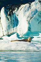 A harbor seal sunbathes on an iceberg in Bear Lake, Kenai Fjords National Park, Alaska