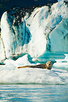 A harbor seal sunbathes on an iceberg in Bear Lake, Kenai Fjords National Park, Alaska