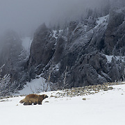 Wolverine adult In the Bridger Mountains of Montana.during the winter. Captive Animal