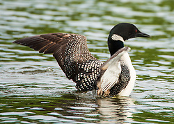 Loons are well equipped for their submarine maneuvers to catch fish. Unlike most birds, loons have solid bones that make them less buoyant and better at diving.