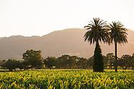 beringer gamble ranch vineyard in oakville, california