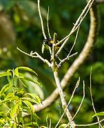 Black-cowled Oriole, Icterus prosthemelas