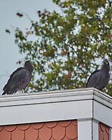 Black Vulture. Rocky Hill. Image taken with a Nikon 1 V3 camera and 70-300 mm VR lens.