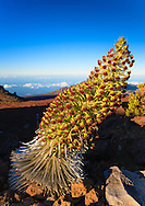 The 'ahinahina or Haleakala Silversword (Argyroxiphium sandwicense subsp. macrocephalum) in full blooming glory. The silversword can live up to 60 years and only blooms once; this one will soon be dead. This subspecies is only found in Haleakala National Park and is listed as threatened on the endangered plant list.