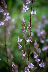 Emerging flowers of Hebe 'Fairfieldii'