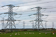 Electrical pylons coming from Dungeness B power station in the Romney Marsh, Kent, United Kingdom. Grazing below the pylons is a herd of Romney sheep, who are native to the marshland.