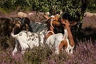 goats for open land management eating birch leaves in the flowering Wahner Heath, Troisdorf, North Rhine-Westphalia, Germany.<br /> <br /> Ziegen zur Offenlandpflege fressen Birkenblaetter in der bluehenden Wahner Heide, Troisdorf, Nordrhein-Westfalen, Deutschland.