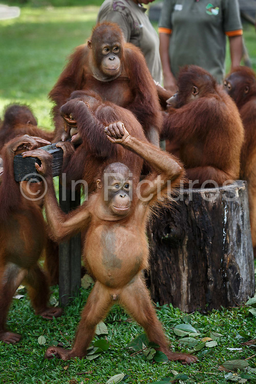 Juvenile orang-utans play at Nyaru Menteng Rehabilitation Centre, run by the Borneo Orangutan Survival Foundation, in Central Kalimantan, Borneo, Indonesia on 27th May 2017. Orang-utans are rescued from situations including being illegally kept as pets and being orphaned by loggers or workers on palm oil plantations. During their rehabilitation process their contact with humans is kept to a minimum, and they spend several years at forest school where they learn how to live independently.