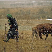 MONGOLIA, Darhad Valley. Elderly woman checks on her cattle as her family moves from the valley into higher, forested  hillsides for the winter.
