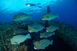 Bolbometopon muricatum, Schule von Bueffelkopf-Papageifischen und Taucher, school of Green humphead parrotfish and scuba diver, Bumphead parrotfish, Liberty Wreck Wrack, Tulamben, Bali, Indonesien, Indopazifik, Indonesia Asien, Indo-Pacific Ocean, Asia
