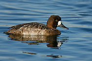 Lesser Scaup - Aythya affinis - female