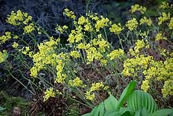 Epimedium pinnatum subsp. colchicum AGM syn. Epimedium pinnatum elegans.<br /> Colchian barrenwort.