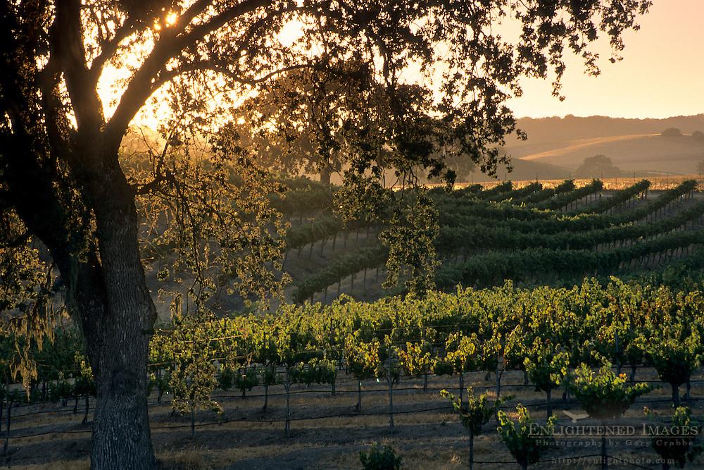 Vineyards at sunset, Zenaida Cellers, Paso Robles, San Luis Obispo County, California