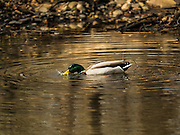 25 APRIL 2015 - MINNETONKA, MINNESOTA, USA:  Mallard drake duck in Minnehaha Creek as it runs through Minnetonka, MN. Minnehaha Creek is a 22-mile-long (35 km) tributary of the Mississippi River that flows east from Gray's Bay Dam on Lake Minnetonka through the suburban cities of Minnetonka, Hopkins, Saint Louis Park, and Edina, and the city of Minneapolis. The creek flows over Minnehaha Falls in Minnehaha Park near its mouth at the Mississippi River.     PHOTO BY JACK KURTZ