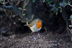 Robin at Edinburgh Zoo..©Michael Schofield.