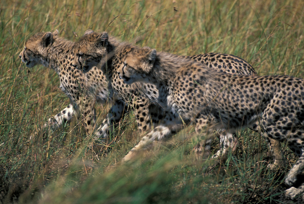 Africa, Kenya, Masai Mara Game Reserve, Three young Cheetah cubs (Acinonyx jubatas) walking across savanna