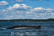 fin whale or finback whale, Balaenoptera physalus, with patches of diatoms growing on skin, Letete Passage, Bay of Fundy, near Green's Point, Deer Island and Campobello Island, New Brunswick, Canada